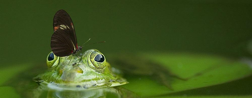 Ein Frosch und ein Schmetterling als Symbol der Transformation in der Osho Dynamische Meditation